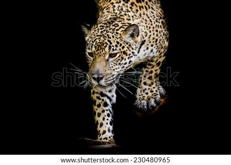 close up Jaguar Portrait #230480965