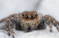 Close up jumping spider.