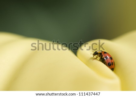 close up ladybug on green and yellow background