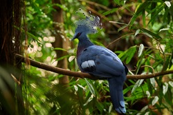 Close-up, largest extant pigeon, Victoria crowned pigeon, Goura victoria. Blue colored bird with red eye and beautiful fan-shaped crest. Northern New Guinea