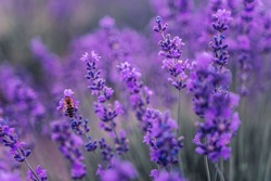 Close up Lavender flower blooming scented fields in endless rows on sunset. Selective focus on Bushes of lavender purple aromatic flowers at lavender fields