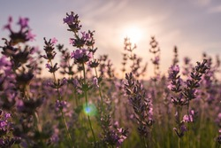 Close up Lavender flower blooming scented fields in endless rows on sunset. Selective focus on Bushes of lavender purple aromatic flowers at lavender fields Abstract blur for background.