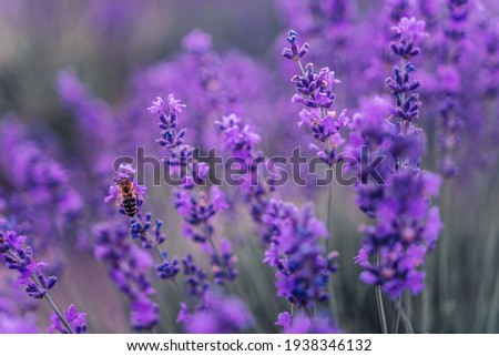 Close up Lavender flower blooming scented fields in endless rows on sunset. Selective focus on Bushes of lavender purple aromatic flowers at lavender fields Foto stock ©