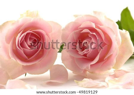 Close up lay down rose with petals