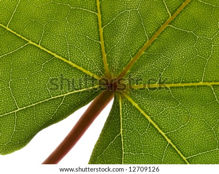 Close up leaf of maple on white background