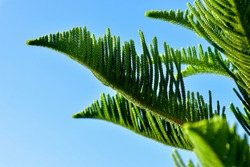 Close-up leaf top of araucaria heterophylla (Norfolk Island pine) has greenery, sometimes called a star pine, triangle tree or living Christmas tree. Selective focus