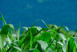 Close up leaves of corn on a Field corn background in front of the mountains. The growth of the crop. Greenness.