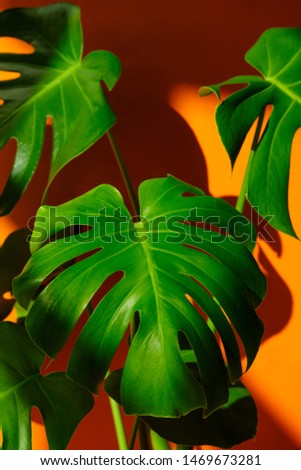 Close-up leaves of Monstera on orange the background. Monstera in a modern interior. Background for the site