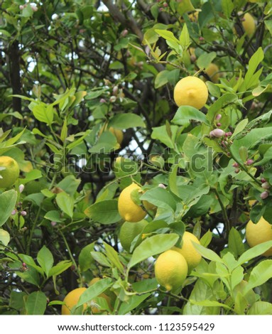 Close up lemons and flowers on tree. Hybrid classified as Citrus x limon in the Rutaceae family. Citrus trees easily cross-pollinate. Main lemon-growing areas are  California, Sicily, Greece, Spain.