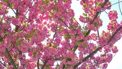 CLOSE UP, LENS FLARE, DOF: Bright spring sun shines on the pink blossoming canopy of a cherry tree at a beautiful orchard. Gorgeous pink hued flowers of a budding tree open up on a sunny day in spring