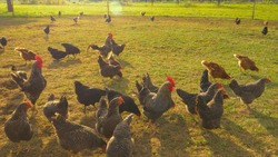 CLOSE UP, LENS FLARE: Multi-colored free range chickens peck grass while roaming around enclosed pasture. Brown and spotted black hens eat grass near a sustainable farm. Humanely treated farm animals.