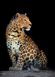 Close-up leopard portrait on dark background