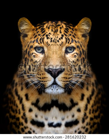 Close-up leopard portrait on dark background #281620232