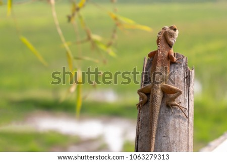 Close up Light red-brown and light green thai chameleon on the old bamboo with sunshine in Summer #1063279313