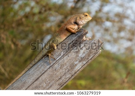 Close up Light red-brown and light green thai chameleon on the old bamboo with sunshine in Summer #1063279319