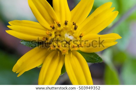 Close up little yellow star flower daisy with green garden close up little yellow star flower daisy with green garden background mightylinksfo