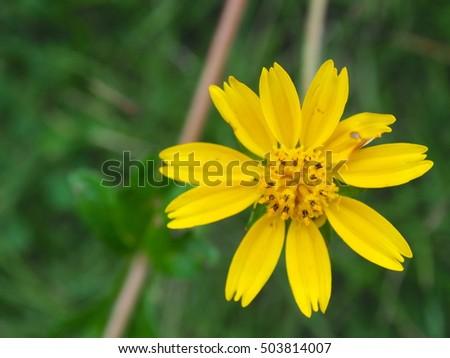 Close up little yellow star flower in the garden with burred green close up little yellow star flower in the garden with burred green background melampodium divaricatum mightylinksfo