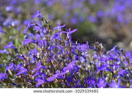 Close up lobelia blue flowers. Annuals. Natural look. #1029339685
