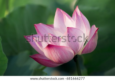 Close up lotus flower background lotus is symbol for vietnamese close up lotus flower background lotus is symbol for vietnamese selective focus mightylinksfo