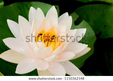 Close up lotus flower.flower picture of beautiful purple lotus / water lily.