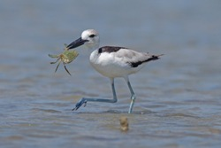 Close up, low angle photo of remarkable black and white ,Crab Plover eating big crab on sand beach of southern,Thailand