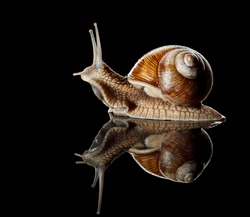 Close-up low angle view of Roman snail (Helix pomatia) isolated on black reflective  background