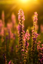 Close up lupin in the golden light at sunset in a field. Field grasses all around. Golden hour. Beautiful summer floral background, lupine flowers in the sunset in a summer meadow. Selective focus