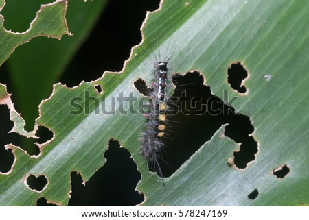 close up macro a gypsy moth...