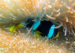 close up macro Allard's clownfish (Amphiprion allardi) in a sea anemone coral maldives