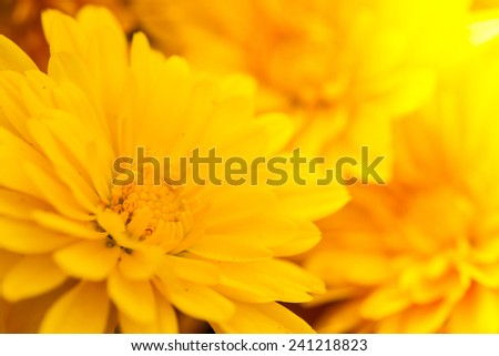 Close up macro beautiful light yellow flower