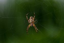 Close up macro click of male Araneus diadematus or European garden spider or Cross spider sitting in a spider web.