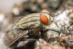 close up macro fly insect order Diptera