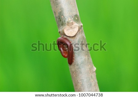 Close up macro image of a Millipede (Trigoniulus corallinus) curled up on the side of a tree #1007044738