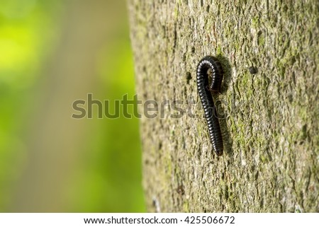 Close up macro image of a White-legged Snake Millipede (Tachypodoiulus niger) curled up on the side of a beech tree #425506672