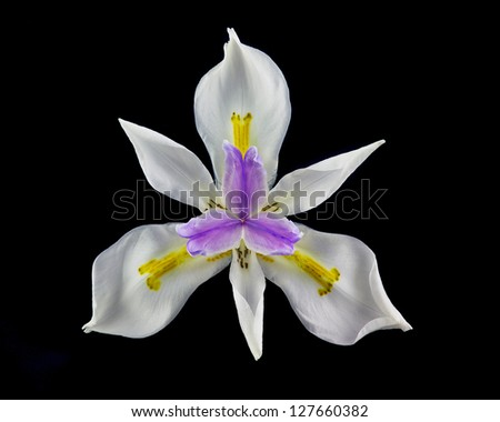 Close Up (macro) image of Wild Iris (dietes iridioides) bloom, Southern California