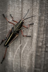 Close-up macro insect eastern lubber grasshopper