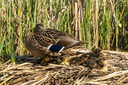 Close up macro low level view of mallard duck family with Hen and young Ducklings on reed nest