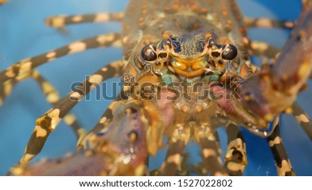 Close up macro of alive raw lobsters in shop. Blue basin with ice water, delicatessen fresh uncooked mediterranean lobsters placed on stall in seafood store. Natural background with marine inhabitants