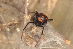 close-up/macro of an european black widow male Latrodectus tredecimguttatus in his net.