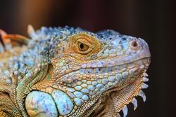 Close up macro of animal eye. orange iguana (soft focus)