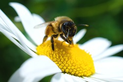 Close up, Macro  of Bumble Bee  on daisy flower collecting pollen.