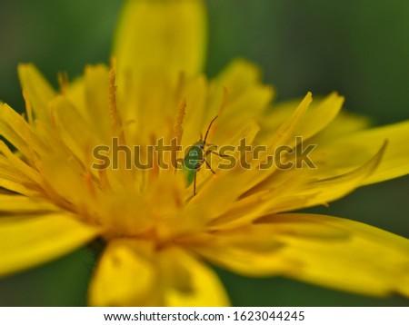 Close-up macro of macro of green in dandelion.