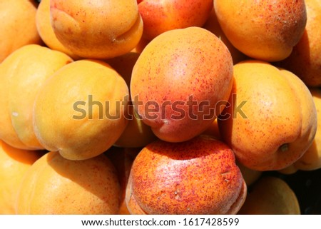 Close up macro of organic delicious ripe fresh juicy orange apricots home grown foraged in country English allotment garden, colourful fruit freshly harvested and shining in summer sunshine