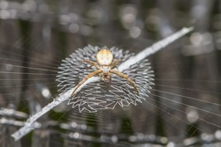 Close up macro of spider on web.