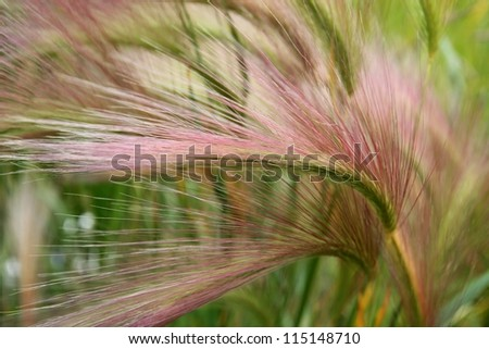 Close up macro of the seed head of beautiful Alaskan grass in summer.