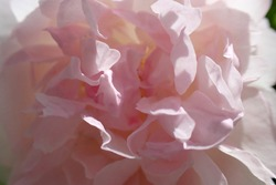 Close up macro photo of beautiful pink rose in blossom as seen at spring
