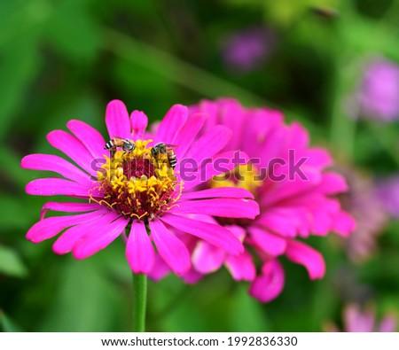 Close up macro photo of bee on a beautiful pink gerbera daisy flower