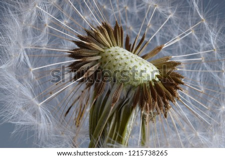 Close up macro picture hawkbit dandelion with its tiny seeds Spring dandelion Puffball Flower closeup in a park in blossom Fluffy withered blooming in spring day fun funny Leontodon blowball allergy