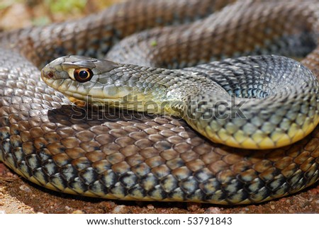 Close up macro shot of a beautifully Montpellier snake, the most common snake in Spain.