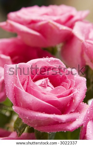 Close-up (macro) shot of a pink rose